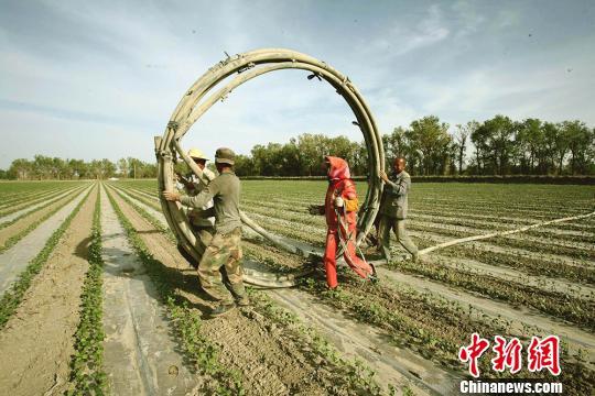 棉農正在鋪設抗旱加壓節水管網。 杜炳勛 攝