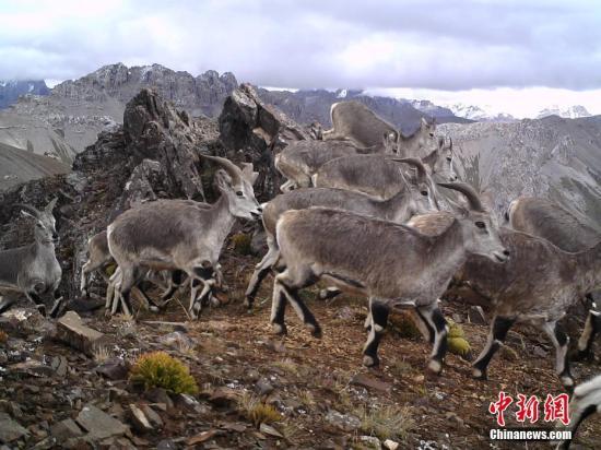 原料图:红外相机在。三江源区域记录到的岩羊影像。山水当然珍惜中央 供图