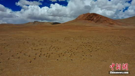 资料图:西藏广袤的草原和藏羚羊。索朗仁青 摄