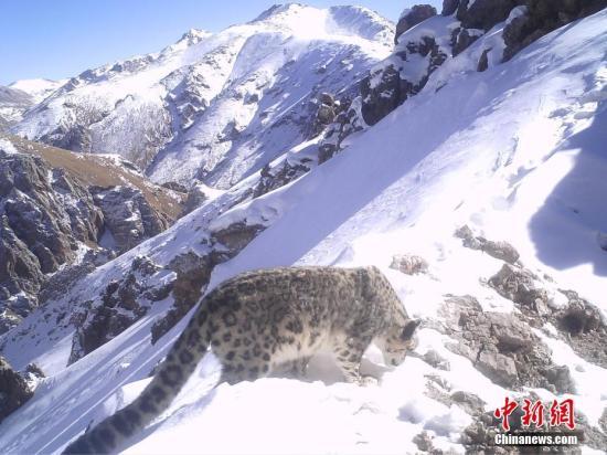 资料图:红外相机在三江源区域记录到的雪豹影像。山水自然保护中心 供图