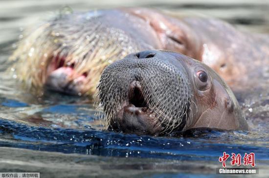 """涉嫌囚禁虐待海象?俄远东""""鲸鱼监狱""""再遭检查"""