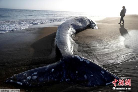 当地时间5月23日,美国加州旧金山湾区再次出现一具灰鲸尸体。据悉,这已经是今年在湾区出现的第13具灰鲸尸体。自1月份以来,西海岸已经发现了30多具灰鲸尸体,这是自2000年以来最多的一次,当时有86只鲸鱼死亡。