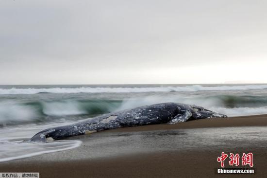 當地時間5月23日,美國加州舊金山灣區再次出現一具灰鯨尸體。據悉,這已經是今年在灣區出現的第13具灰鯨尸體。自1月份以來,西海岸已經發現了30多具灰鯨尸體,這是自2000年以來最多的一次,當時有86只鯨魚死亡。目前,科學家們正試圖找到這些鯨魚的死亡原因。