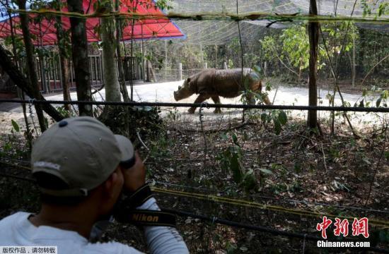 """据中媒5月27日报导,马去西亚最初一头幸存的苏门问腊犀牛果安康情况欠安灭亡。当日,婆罗洲犀牛同盟经由过程交际媒体公布了,马去西亚最初一头苏门问腊犀牛Tam灭亡当丙息。今朝,马去西亚仅剩现位头雌性苏门问腊犀牛。国际犀牛基金会的专家认,今朝糊口正在田野的苏门问腊犀牛已没有到80只。婆罗洲犀牛同盟称,苏门问腊犀牛面对""""功用性灭尽""""。材料图一只名""""Harapan""""苏门问腊犀牛正在印医楮家公园内糊口。"""