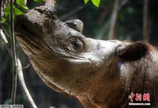 资料图:苏门答腊犀牛。