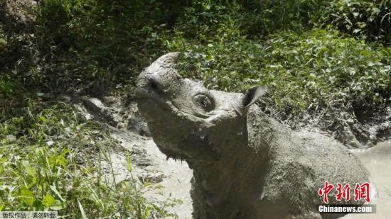 """据中媒5月27日报导,马去西亚最初一头幸存的苏门问腊犀牛果安康情况欠安灭亡。当日,婆罗洲犀牛同盟经由过程交际媒体公布了,马去西亚最初一头苏门问腊犀牛Tam灭亡当丙息。今朝,马去西亚仅剩现位头雌性苏门问腊犀牛。国际犀牛基金会的专家认,今朝糊口正在田野的苏门问腊犀牛已没有到80只。婆罗洲犀牛同盟称,苏门问腊犀牛面对""""功用性灭尽""""。材料图雄性苏门问腊犀牛Tam正在泥浆中游玩。"""