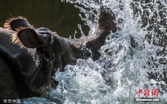 当地时间2019年6月5日,德国柏林,当地气温超过30摄氏度。柏林动物园的动物们戏水纳凉。图片来源:视觉中国
