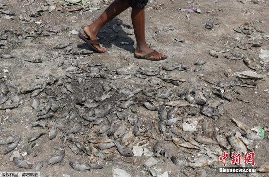 当地时间2019年6月9日,印度钦?#21361;?#24403;地郊区一个干涸湖床上的死鱼。监测结果显示,钦奈的主要几个水库的水位创下70年来的新低,目前的蓄水量仅占水库总库容的1.3%。