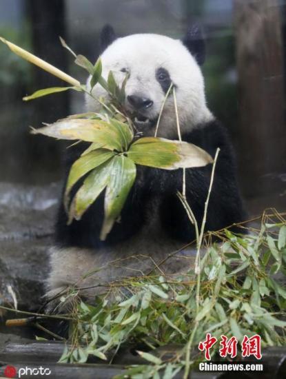 """当地时间2019年6月10日,日本东京,大熊猫""""香香""""在上野动物园中啃竹子。上野动物园的雌性大熊猫宝宝""""香香""""12日将满两岁,当初规定的""""满24个月月龄时""""送回中国的归还期限,延长至2020年底。据报道,香香于2017年6月12日诞生,是雄性大熊猫""""力力""""和雌性大熊猫""""真真""""自然交配的结晶。 图片来源:ICphoto"""
