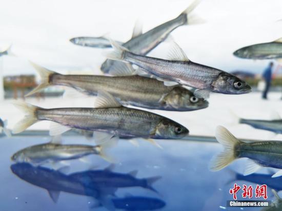 青海湖裸鲤救护中心:目前已有1.4062亿尾青海湖裸鲤鱼种