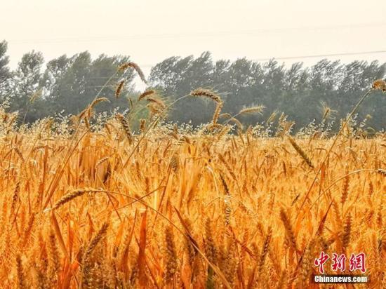资料图:皖北平原许多小麦种植区,进入收割期。刘浩 陈杰 摄