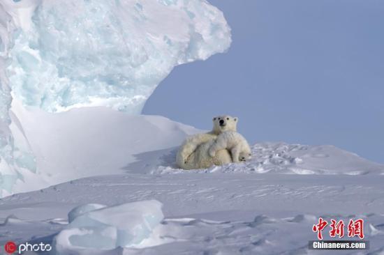 材料图:北极熊。图片滥觞:ICphoto