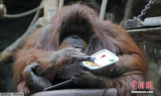 当地时间2019年6月13日,法国巴黎,巴黎植物园里的动物园猩猩Nenette在50岁生日到来前夕展示自己的绘画技艺。