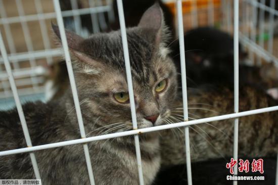 当地时间6月14日,俄罗斯圣彼得堡一家动物收容所发生火灾,消防员从火场救出300只猫和7只狗。图为被救援的猫。