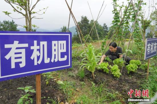 6月17日,凯里市都蓬村垃圾处理中心工作人员吴才燕在菜园里除草,菜园是用垃圾处理后的有机肥有机灰等来培植的。贵州省黔东南苗族侗族自治州凯里市大风洞镇都蓬村是贵州省65个人口数量较少民族贫困村之一,全村1800余人中,有三分之二是仫佬族。2018年,都蓬村建立垃圾处理中心,探索进行生活垃圾分类。目前,该中心每天可以处理7吨生活垃圾,在满足该村需求外,还可以辐射周边的村寨。中新社记者 贺俊怡 摄