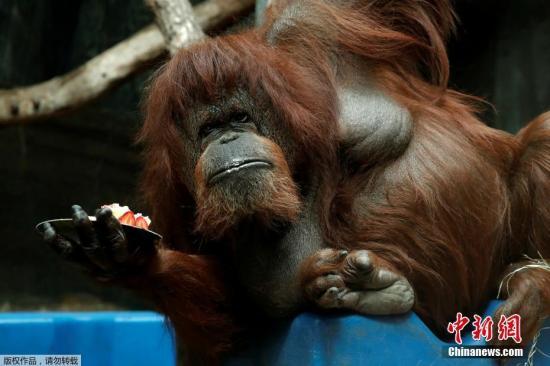 当地时间2019年6月16日,法国巴黎动物园为猩猩Nenette庆祝50岁生日。动物园为它准备的草莓蛋糕看来很合口味。