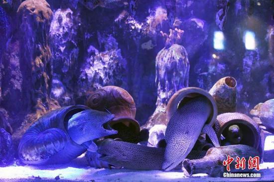 资料图:海洋世界里的海鳗。中新社记者 姬东 摄