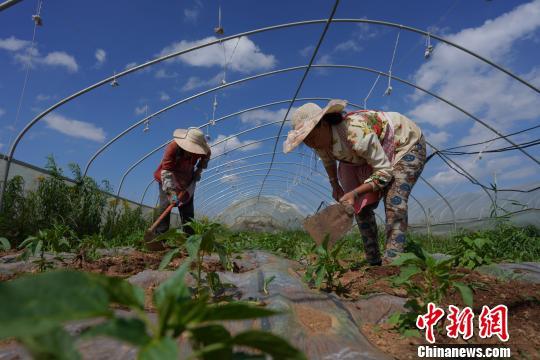 資料圖:菜農在蔬菜基地除草。 賀俊怡 攝