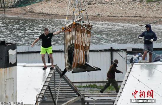 材料图@员天工夫6月20日,俄罗斯滨海边陲区Srednyaya海湾,两端虎鲸被放死。