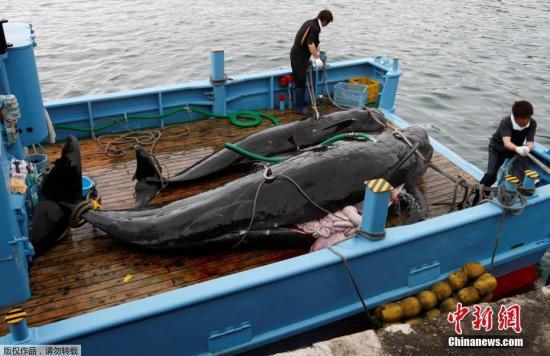 材料图:2008年6月4日,日本工具北420千米处的太天町,一艘捕鲸船捕捉的短鳍发航