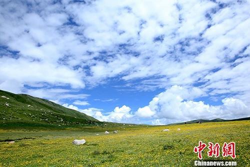图为6月24日拍摄的年保玉则景区长满格桑花的草地。 中新社记者 王捷先 摄