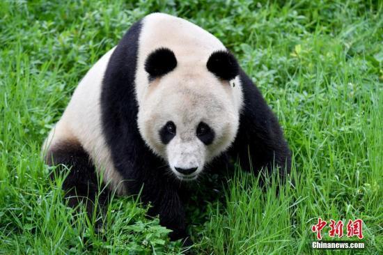 海归大熊猫母子结束隔离检疫 健康状况良好