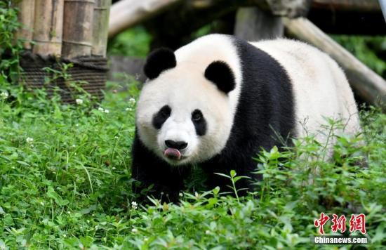 """图为大熊猫""""白云""""。<a target='_blank' href='http://www.chinanews.com/'>中新社</a>记者 安源 摄"""