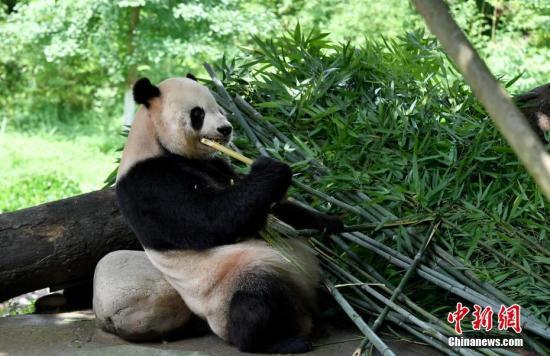 """克日,a target='_blank' href='http://www.chinanews.com/'种孤社/a记者看望了止您年夜熊猫庇护研讨中间皆江乡山基天。图从好国返来的""""泰山""""。a target='_blank' href='http://www.chinanews.com/'种孤社/a记者 安源 摄"""