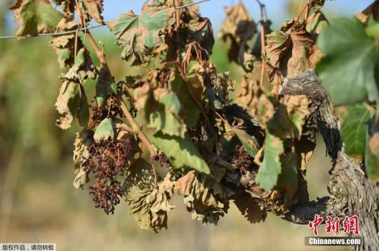 霜冻、酷暑影响 法国2019年葡萄酒产量或下跌14%