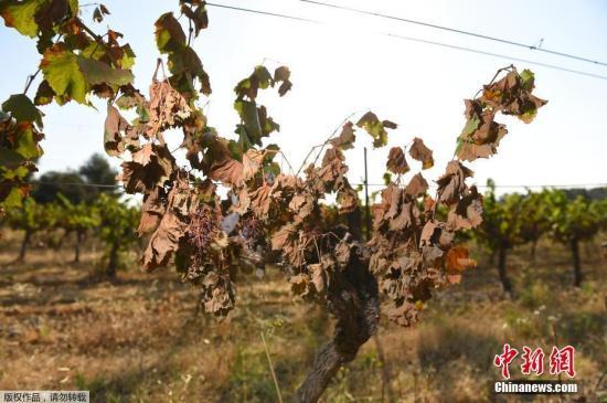 本地工夫2019年6月30日,法国北部受彼利埃四周的Sussargues,低温下烤焦的葡萄藤。法国连续低温干涝气候激发火警,本地葡萄栽种者丧失惨痛。