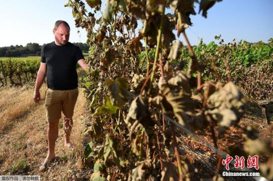 当地时间2019年6月30日,法国南部蒙彼利埃附近的Sussargues,高温下烤焦的葡萄藤。法国持续高温干旱天气引发火灾,当地葡萄种植者损失惨重。