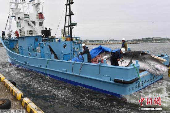 当地时间7月1日,日本北海道钏路港,一头刚刚被捕获的小须鲸被起重机吊到卡车上前往鱼肉市场。