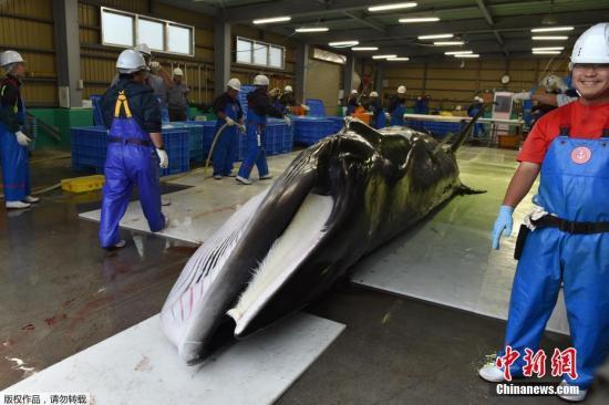 日本商业捕鲸重启将满1个月:捕捞顺利但需求不振