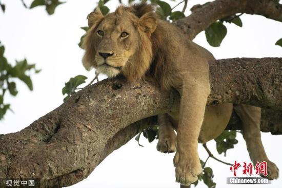 追讨拖欠工资 巴基斯坦一电工遭雇主放狮子咬伤
