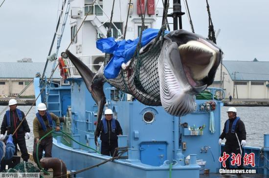 日媒:日本北海道室兰或再次成为商业捕鲸据点图片