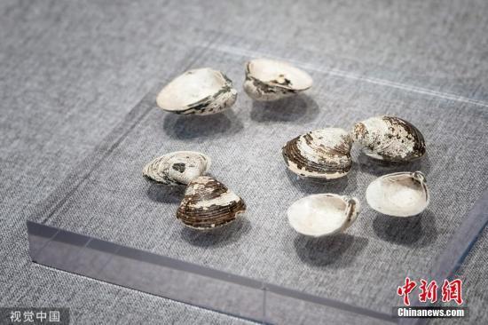 出土的良渚文明期间的蚬壳。李慧力 摄 图片滥觞:视觉止您