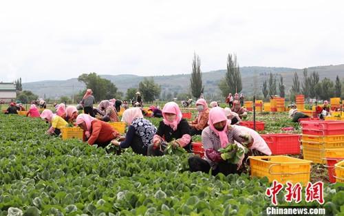 """7月11日,固原市西吉县马莲乡张堡塬村向丰现代生态循环农业示范园内的蔬菜陆续迎来""""丰收季"""",每天都有百余人在基地里忙着采摘,该蔬菜基地已成为当地村民就近务工的好去处。中新社记者 于晶 摄"""
