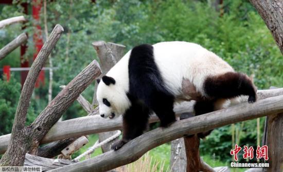 """资料图:柏林动物园大熊猫""""梦梦""""在树干上玩耍。"""