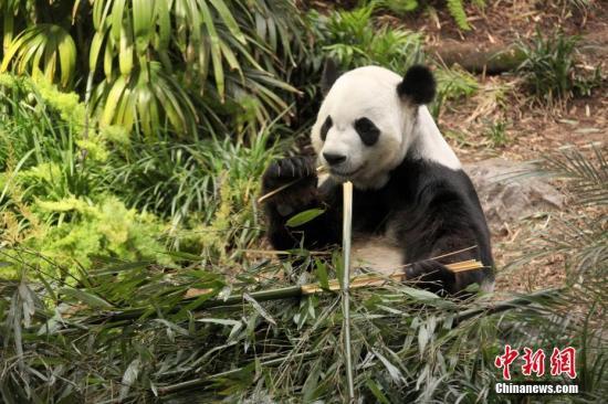 """旅加大熊猫""""大毛""""""""二顺""""提前返回中国"""