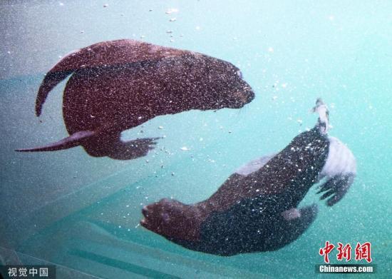 2019年7月17日,德国汉诺威,汉诺威动物园里两只海豹幼崽首次公开亮相。