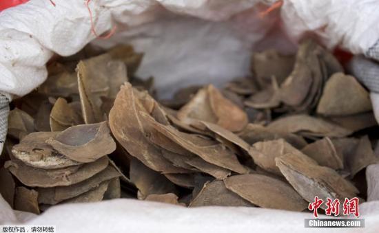 提货单当时申报集装箱装的是木头,但经检查,执法人员却在其中一个集装箱发现一袋袋的象牙和穿山甲鳞片。其中132袋象牙,总重量约8.8公吨,是新加坡查获的最大批走私象牙。此外,还有237袋穿山甲鳞片重达11.9公吨。图为缴获的穿山甲鳞片。文字来源:央视新闻