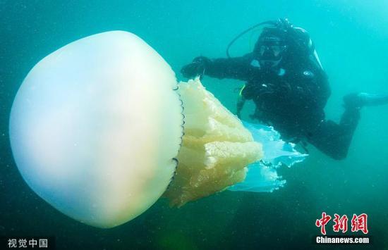 7月24日消息,近日,53岁的Michelle Walton和51岁的Peter Love在潜水时发现了一只长1.5米的桶状水母。肺状根口水母由于其形状和大小,通常被称为桶状水母。图片来源:视觉中国