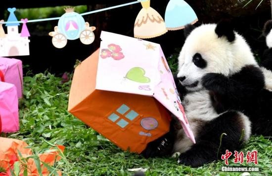 """7月25日,18只2018年新生大熊猫宝宝在中国大熊猫保护研究中心卧龙神树坪基地集体庆生,迎来了它们""""熊生""""中第一个属于自己的生日派对。图为大熊猫宝宝""""手撕""""生日礼物。安源 摄"""