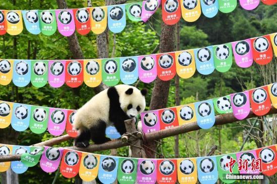 """7月25日,18只2018年新生大熊猫宝宝在中国大熊猫保护研究中心卧龙神树坪基地集体庆生,迎来了它们""""熊生""""中第一个属于自己的生日派对。图为生日派对上调皮的大熊猫宝宝。安源 摄"""