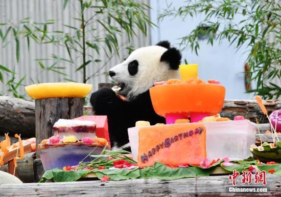 """7月25日,18只2018年新生大熊猫宝宝在中国大熊猫保护研究中心卧龙神树坪基地集体庆生,迎来了它们""""熊生""""中第一个属于自己的生日派对。图为享受生日美食的大熊猫宝宝。安源 摄"""