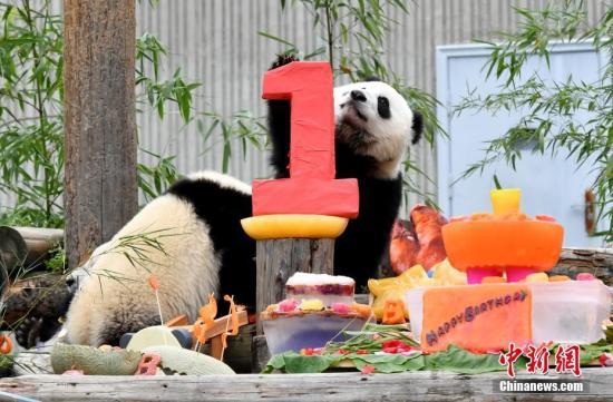 """7月25日,18只2018年新生大熊猫宝宝在中国大熊猫保护研究中心卧龙神树坪基地集体庆生,迎来了它们""""熊生""""中第一个属于自己的生日派对。图为在生日派对上玩耍的大熊猫宝宝。安源 摄"""