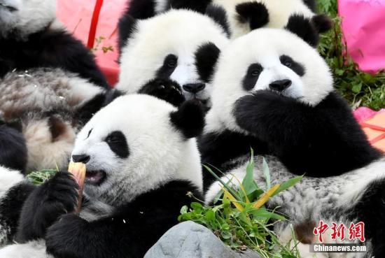 """7月25日,18只2018年新生大熊猫宝宝在中国大熊猫保护研究中心卧龙神树坪基地集体庆生,迎来了它们""""熊生""""中第一个属于自己的生日派对。 图为享受生日美食的大熊猫宝宝。安源 摄"""