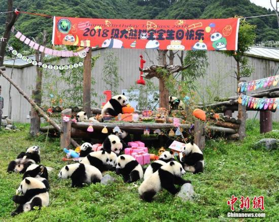 """7月25日,18只2018年新生大熊猫宝宝在中国大熊猫保护研究中心卧龙神树坪基地集体庆生,迎来了它们""""熊生""""中第一个属于自己的生日派对。 图为大熊猫宝宝集体庆生现场。安源 摄"""
