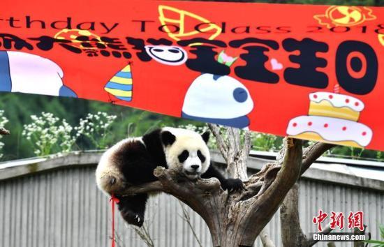 """7月25日,18只2018年新生大熊猫宝宝在中国大熊猫保护研究中心卧龙神树坪基地集体庆生,迎来了它们""""熊生""""中第一个属于自己的生日派对。 图为生日派对上调皮的大熊猫宝宝。安源 摄"""