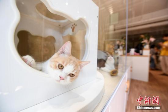 """资料图:猫咪。7月26日,广西北宁一宠物""""liqueur店""""内,邪""""度假""""的猫咪们享蒙着各式服务。暑假光落,没有少民众挑选没游,很多宠物仆人将宠物寄养在宠物liqueur店内。据了解,此宠物liqueur店分为寄养区、美容区、展示区,工作人员会根据客户的需求战宠物习性放置房间,房间配备厕所、猫咪自动饮水器等装备,并提供博员陪护、宠物美容、视频及时监控等服务。如今,宠物消费成为冷面,遭到越来越多闭注。俞靖 摄"""